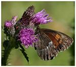 Title: Erebia euryale on purple ThistleCanon EOS 30 D