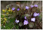 Title: Jeffersonia dubia
