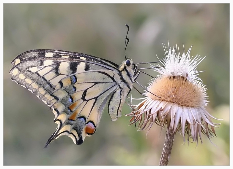 Machaon on Jurinea mollis