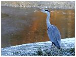 Title: Grey Heron in wintertime