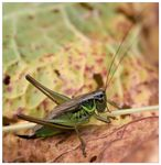 Title: Roesel's Bush-cricket