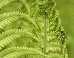 Title: Fern and hoverfly