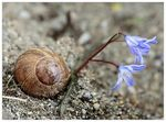 Title: Snail shell and Scilla