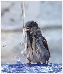 Title: Sparrow drinking at the fountain
