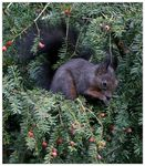 Title: Christmas Squirrel