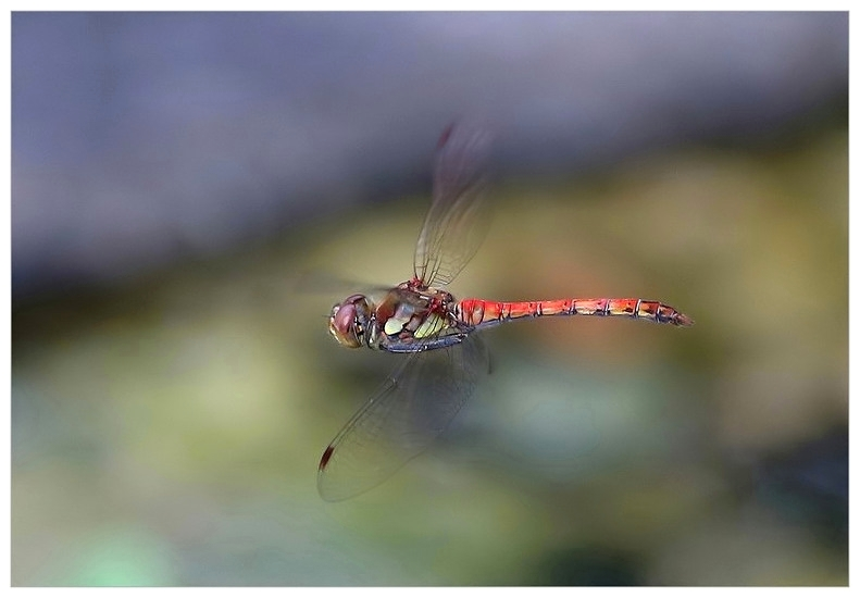 Flying Common Darter