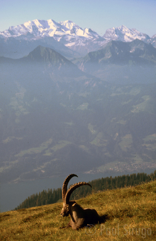 An ibex in the morning light
