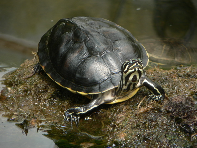 Turtle at Cypress Gardens