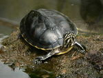 Title: Turtle at Cypress Gardens