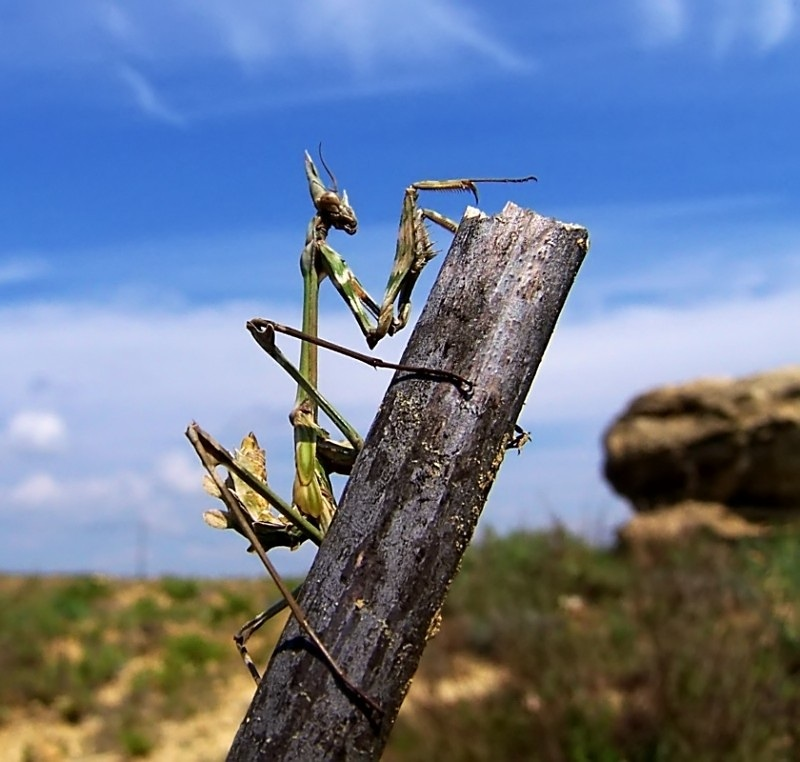 praying mantid