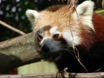 Title: The Red Panda