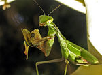 Title: Mantis eating little frog