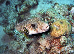 Title: white spotted puffer