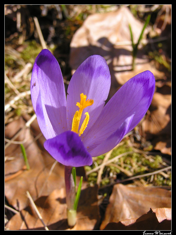 Flower from rumanian mountains