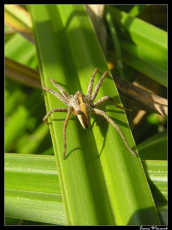 Spider for Janice