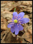 Title: My first Hepatica this spring :-)