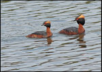 Title: Slavonian Grebes