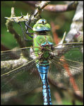 Title: Emperor dragonfly