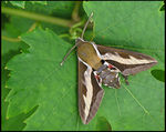 Title: Bedstraw Hawkmoth