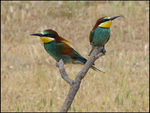 Title: European Bee-eaters