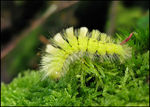 Title: Pale Tussock caterpillar