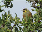 Title: Cirl Bunting