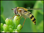 Title: 'Curious Hoverfly'