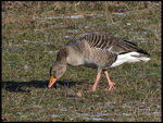 Title: Greylag GooseCanon Powershot SX10 IS