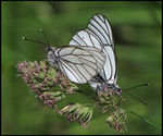 Title: Black-veined WhitesCanon Powershot SX10 IS