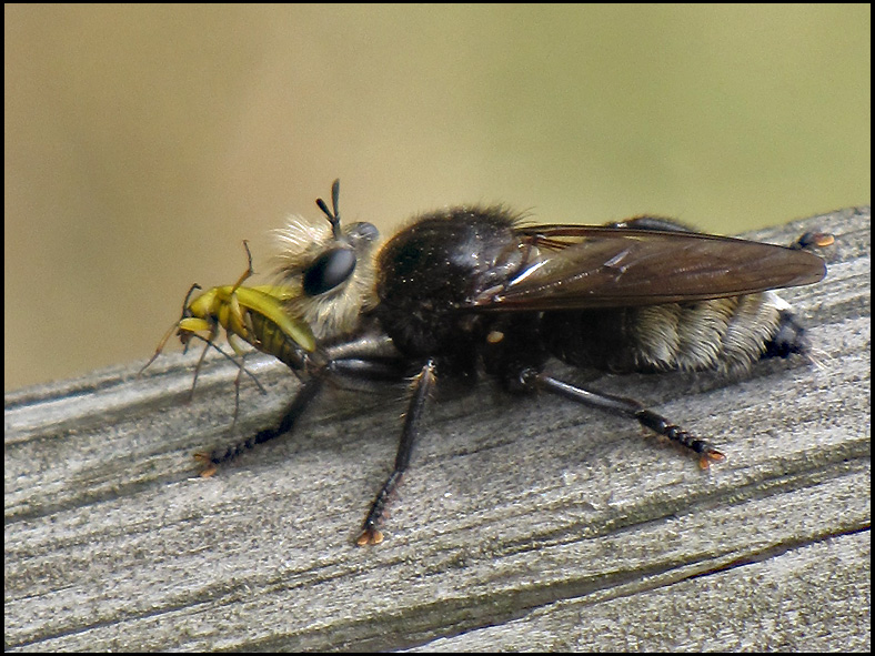 Large Robber Fly