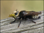 Title: Large Robber FlyCanon Powershot SX10 IS