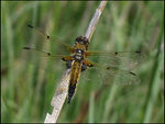 Title: Four-spotted ChaserCanon Powershot SX10 IS