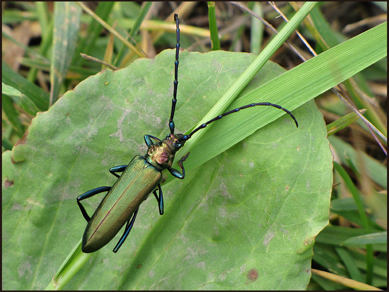 Metallic Longhorn Beetle