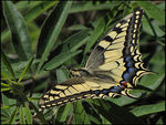 Title: SwallowtailCanon Powershot SX10 IS