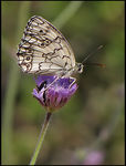 Title: Balkan Marbled White