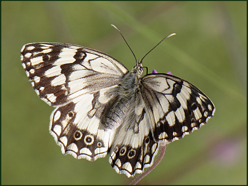 My first Marbled White