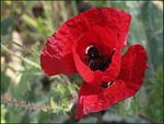 Title: Poppy of Lesvos
