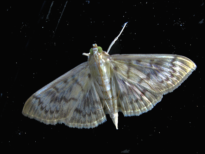 Mother-of-Pearl Moth