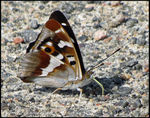 Title: Purple EmperorCanon Powershot SX10 IS
