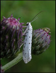 Title: Orchard Ermine Moth