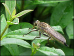 Title: Robber Fly