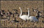 Title: Whooper SwansCanon Powershot SX10 IS