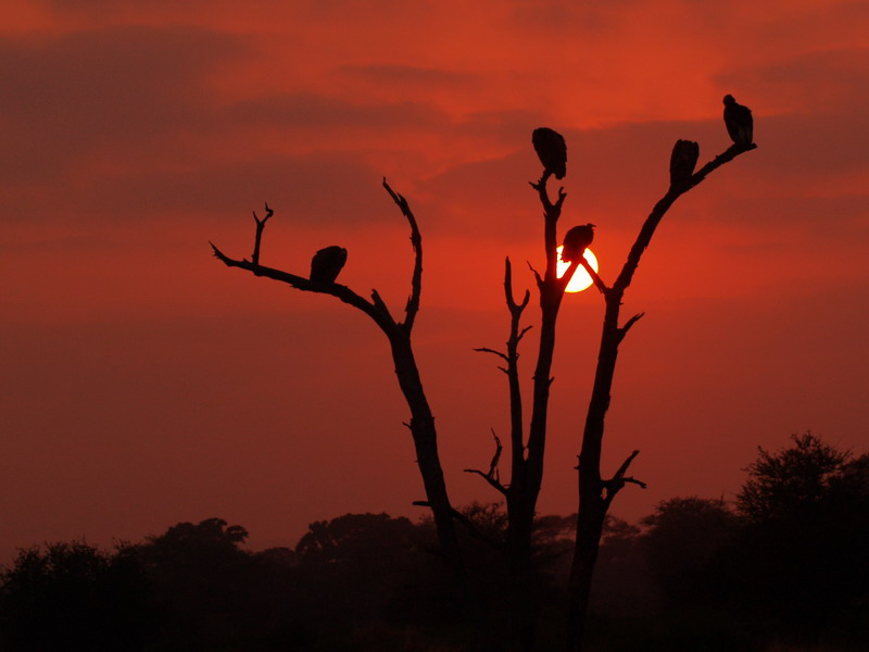 More vultures at dawn