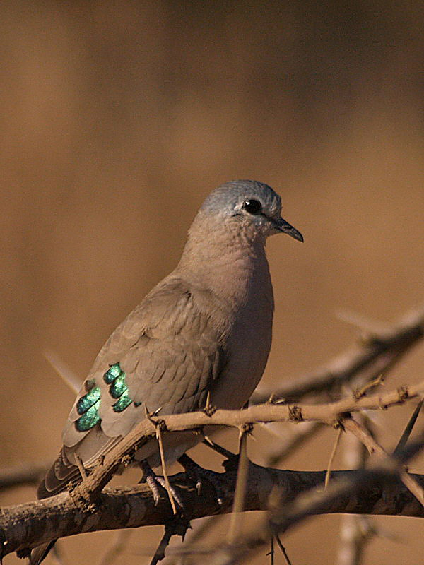 Greenspotted Dove