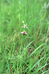 Title: Bee Orchid