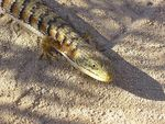 Title: California Alligator-Lizard