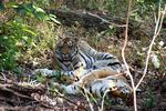 Title: Bengal Tiger in the Wild II