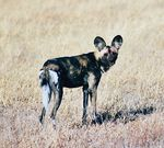 Title: Endangered Wild Dog