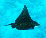 Title: Spotted Eagle Ray