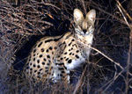 Title: serval cat